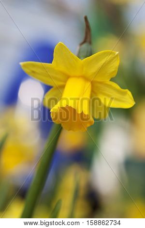 Single yellow daffodil - narcissus flower with soft background