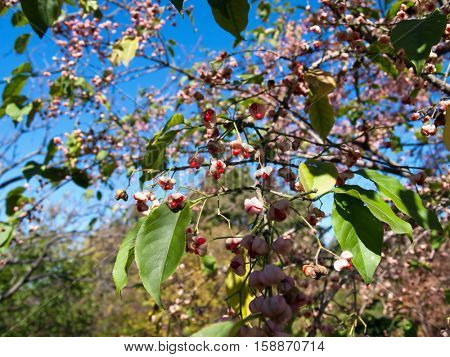 Hamilton's spindletree (Euonymus hamiltonianus), also known as Himalayan spindle, or  Hamilton's spindle with it's pink fruit in autumn.