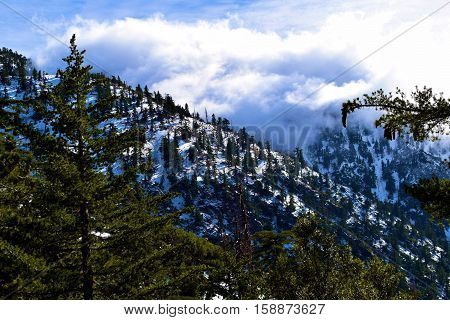 Pine Tree Forest amongst snow on a mountain ridge with clouds beyond taken in Mt Baldy, CA