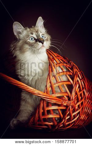 Cute young kitten of breed Neva masquerade looks out from the basket the cat is having fun playing hide and seek