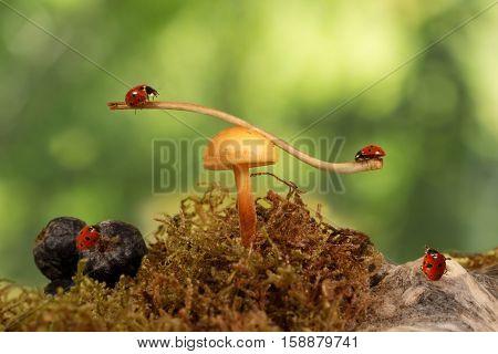 closeup two ladybugs swinging on the branch on the mushroom Armillaria one ladybug on berry aronia and one ladybug on snag. green background