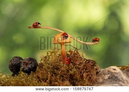 closeup three  ladybugs swinging on the branch on the mushroom Armillaria and one ladybug crawling on fungus. green background