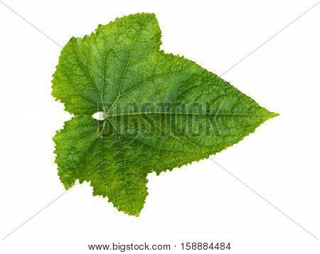 Leaf cucumber closeup isolated on white background. Leaf from an cucumber cut from background