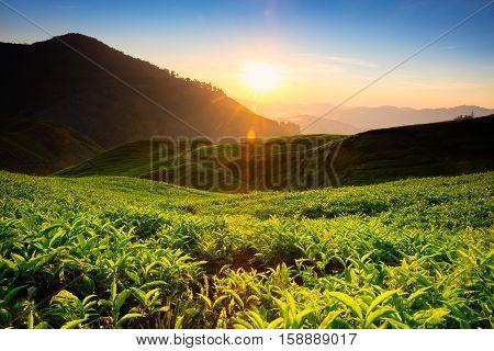 Tea plantation in the morning, Cameron highlands Malaysia