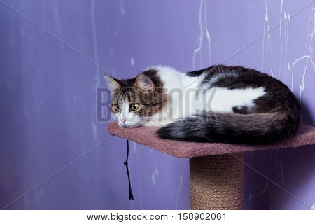 Beautiful purebred cat sitting on purple background.