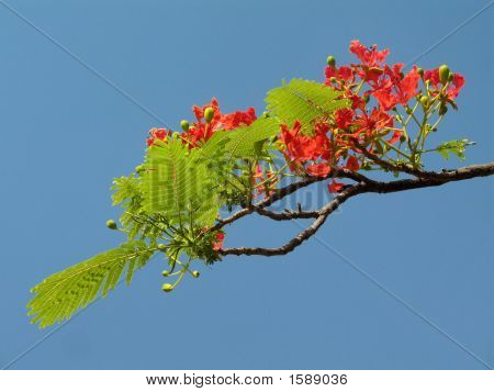 Royal Poinciana in voller Blüte 4