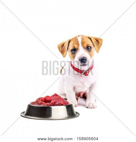 jack russel puppy with food isolated on white
