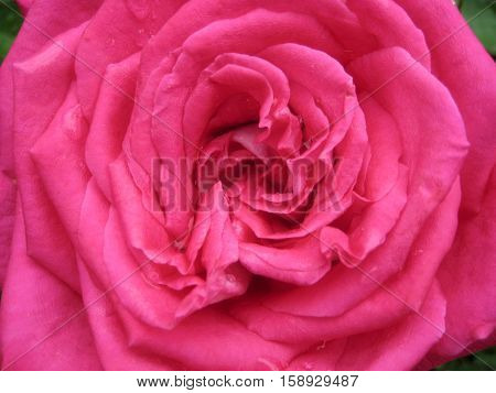 macro photo of a beautiful rose with open petals pink coloring as the source for printing and design