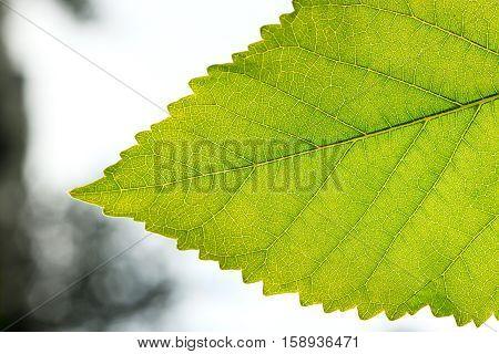 Fragment a green leaf backlit on a blurred background close-up.