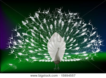 illustration with white peacock on dark background