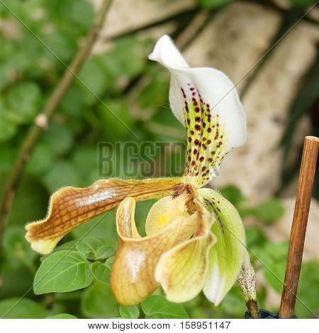 Lady Slipper Orchid Paphiopedilum in botanical garden Brno