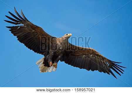 White-tailed eagle in flight with food in its claws and blue skies