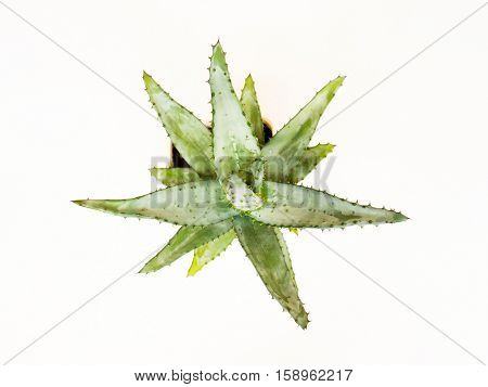 The nature green isolated Cactus.