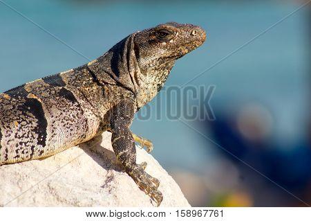 Iguana in Mexico near a Caribbean sea