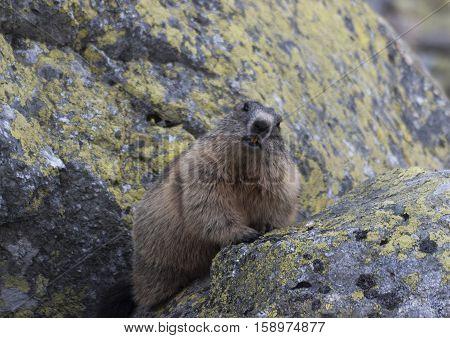 Marmot on the rocks. Tatra mountains. Poland