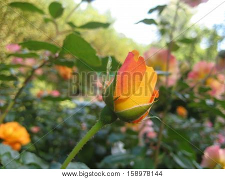 macro photo of variegated petals of rose Bud on a background of foliage as a source for printing and design