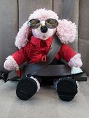image of parti poodle  - comical picture of a dressed up stuffed poodle wearing real sunglasses with beer - JPG