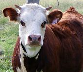 image of hereford  - The face of a curious Hereford weanling - JPG