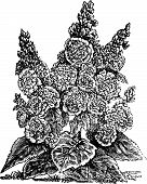 Double Dwarf Hollyhocks Or Alcea Rosea Vintage Engraving.