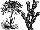 picture of irish moss  - Chondrus crispus irish moss or Fucus vesiculosus bladderwrack engraving old antique illustration of different algaes - JPG