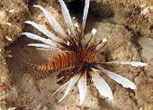 pic of devilfish  - common lionfish  - JPG