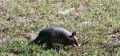 stock photo of armadillo  - Picture of an armadillo walking in the woods - JPG