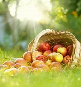 image of apple orchard  - Healthy Organic Apples in the Basket - JPG