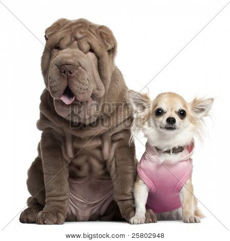 Chihuahua, 3 years old, and Shar Pei puppy, 3 months old, sitting in front of white background