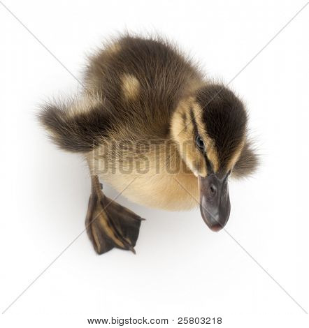 Mallard or wild duck, Anas platyrhynchos, 3 weeks old, in front of white background