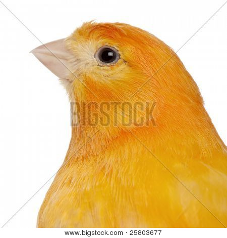 close up of Kanarienvogel, Serinus Canaria Domestica, 2 Jahre alt, in front of white background