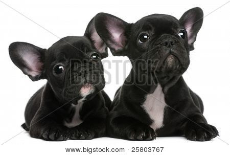 Two French Bulldogs puppies, 8 weeks old, in front of white background