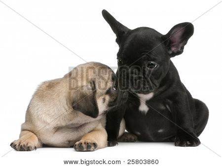 Pug puppy sniffing a French Bulldog puppy, 8 weeks old, in front of white background
