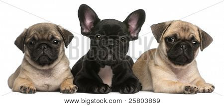 French Bulldog puppy between two Pug puppies, 8 weeks old, in front of white background