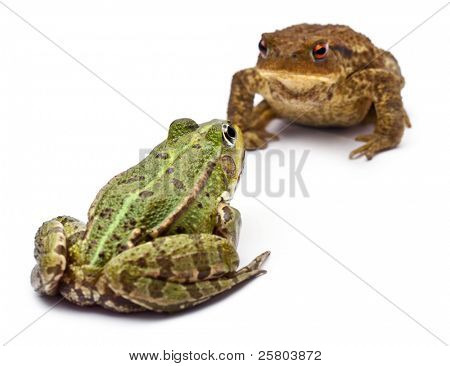 Common European frog or Edible Frog, Rana kl. Esculenta, facing a common toad or European toad, Bufo bufo, in front of white background
