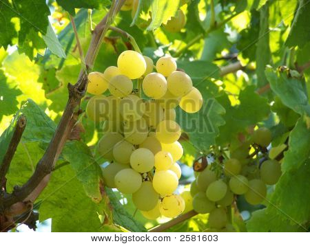 "Sweet White Grapes ""Delight"""