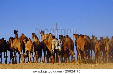 Camel Herding In Pushkar Fair