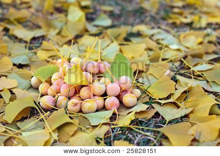 Ginkgo Biloba Fruits Heap Lying Over Leaves, Outdoor Shot