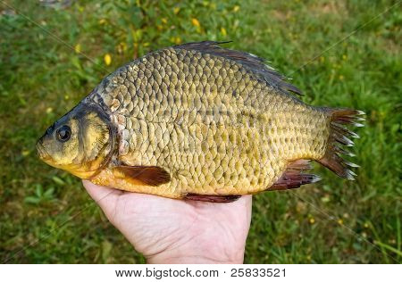 Large Crucian In Hand