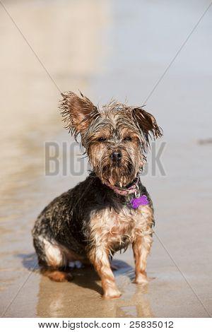 Schmutzig nassen Welpen spielen am Strand