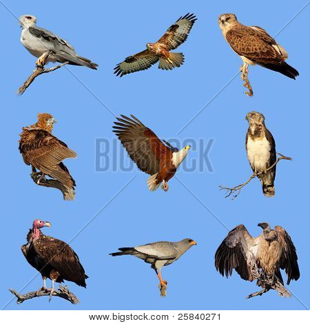 African Birds Of Prey Collection