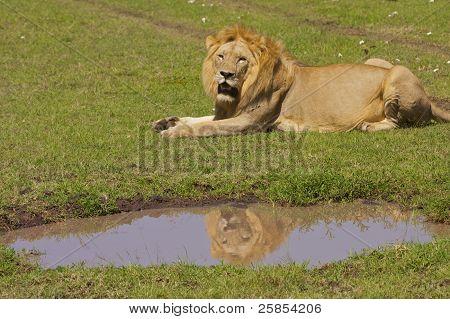 Lion reflecting