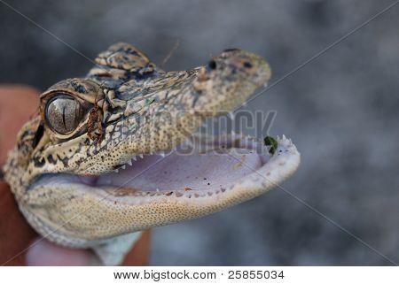 American Alligator: Alligator mississippiensis