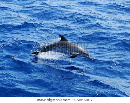 Atlantic Spotted Dolphin: Stenella frontalis