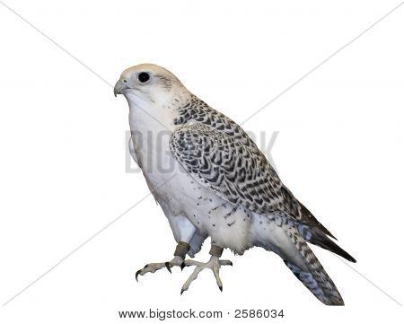 Tundra Falcon