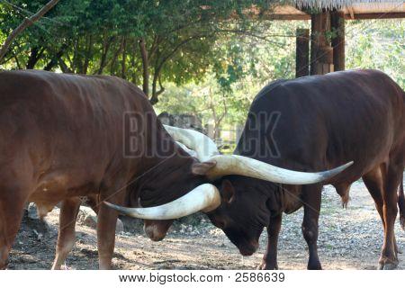 Ankole Cattle 01