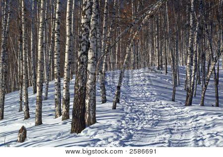 Foot Path In Winter Birch Forest