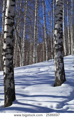 Winter Birch Forest And Blue Sky