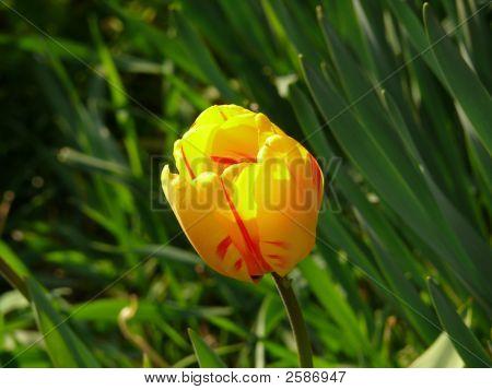 Tulipa Gesneriana
