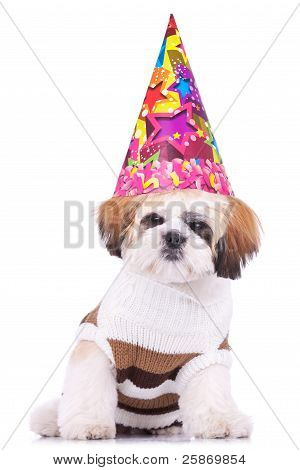 Shih Tzu Puppy Wearing A Party Hat