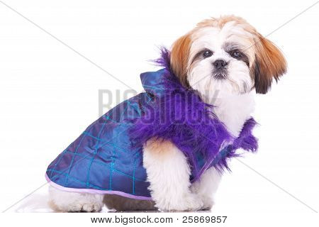 Shih Tzu Puppy  Dressed  Like A Pimp